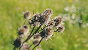 Close-up of dry thistles in the end of the summer, with a slight depth of field defocus. RAW video record. stock video footage