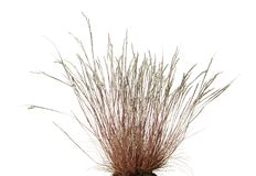 Wild grass. Close-up of dry wild grass tussock isolated on white background Stock Images