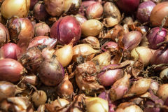 Close up of drying colorful home-grown onions Allium cepa on net dryer background. Heap of natural dried variety colors onions Stock Photos