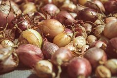 Close up of drying colorful home-grown onions Allium cepa on net dryer background. Heap of natural dried variety colors onions Stock Photography