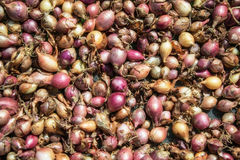 Close up of drying colorful home-grown onions Allium cepa on net dryer background. Heap of natural dried variety colors onions Stock Photo