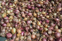 Close up of drying colorful home-grown onions Allium cepa on net dryer background. Heap of natural dried variety colors onions Stock Images