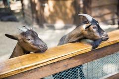 Close-up duas cabras com um seis marrom em seus lados e em um m preto Fotos de Stock