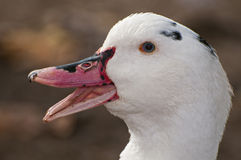 Close-up of a duck. Closeup of a wild duck Royalty Free Stock Images