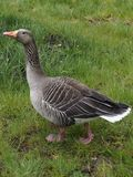 Close up of a duck in the barnyard royalty free stock photo