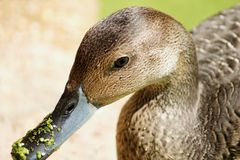 Close-up of duck with duckweeds on its beak Stock Image