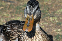 Close-up Duck face. Close-up of the face of a female Mallard duck sitting on a lakeshore Stock Images