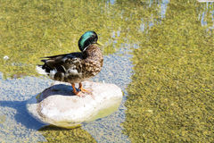Close up of a Duck in a lake Royalty Free Stock Image