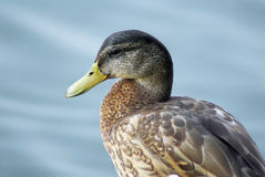 Close up of duck Stock Photos