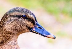 Close up of a Duck Stock Photography