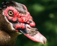 Close-up duck Stock Photos
