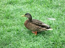 Close up of a duck is standing on its paws in the grass. Side view. Nearby is a feather stock photo