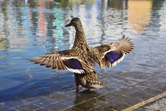 Duck with stretched wings. Close up of duck standing in a water a wawing with its wings Royalty Free Stock Images
