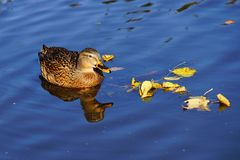 Close-up of Duck Swimming in Lake Royalty Free Stock Photos