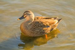 Close up of duck swimming in lake or river . Close up of duck swimming in lake or river Stock Photography