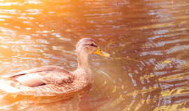 Close up of duck swimming in pond Royalty Free Stock Image