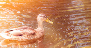Close up of duck swimming in pond Stock Image
