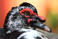 Close up of a duck. A close up view of a colorful hybrid duck on a colorful background. Its face is primary black and white but had colorful patches throughout Royalty Free Stock Image