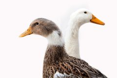 Duck on the white background. Close up of duck on the white background Royalty Free Stock Image