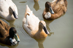 Close up ducks floating on the river Royalty Free Stock Photos