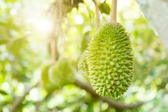 Close up durian king stock photography