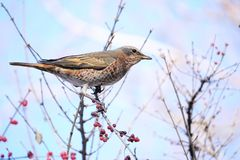 Dusky Thrush. The close-up of a Dusky Thrush stands on branch with red fruits. Scientific name: Turdus naumanni Royalty Free Stock Photos