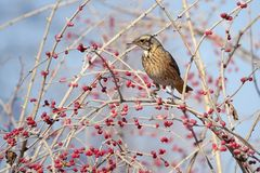 Dusky Thrush. The close-up of a Dusky Thrush stands on branch with red fruits. Scientific name: Turdus naumanni Royalty Free Stock Photography