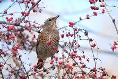 Dusky Thrush. The close-up of a Dusky Thrush stands on branch with red fruits. Scientific name: Turdus naumanni Stock Photos