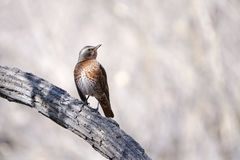 Dusky Thrush. The close-up of a Dusky Thrush stands on trunk. Scientific name: Turdus naumanni stock image