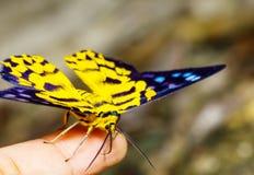 Close up of Dysphania militaris moths Stock Photo