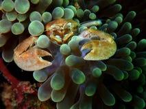 Close-up e caranguejo disparado macro na anêmona do tapete, a beleza da porcelana do mergulho subaquático do mundo em Sabah, Born fotos de stock