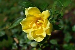 Close up e detalhes cor-de-rosa amarelos Pétalas, haste e estame Bush com folhas verdes Dia ensolarado, luz solar fotos de stock royalty free