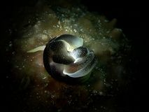 Close-up e nudibranch de acoplamento do tiro macro, a beleza do mergulho subaquático do mundo em Sabah, Bornéu imagens de stock royalty free