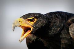 Close up eagle, a bird of prey, South Africa. Close up eagle with open lip, a bird of prey, South Africa stock photos