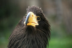Close up of eagle with detail of his head Royalty Free Stock Images