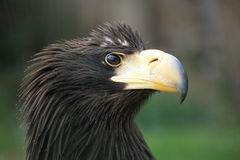 Close up of eagle with detail of his head.  royalty free stock photo