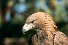 Close Up Eagle Haliaeetus Albicilla. Wild Bird Royalty Free Stock Photo