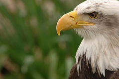Close up of eagle head Royalty Free Stock Images