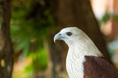 Close Up eagle head sitting on the branch, leaf blurred green na. Ture background stock images