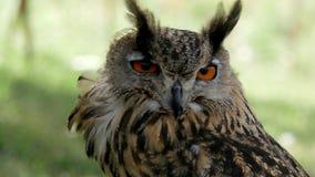 Close up eagle Owl/An eagle owl Royalty Free Stock Photo