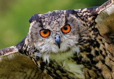 Close up of an Eagle Owl in flight Stock Photos