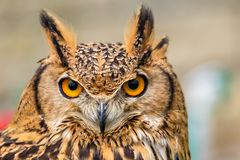 Close up of eagle owl head. With piercing eyes stock photo