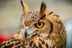 Close up of eagle owl head. Turned to one side with piercing eyes stock images