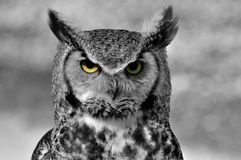 CLOSE UP OF EAGLE OWL Royalty Free Stock Images