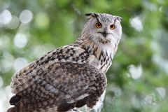 Close up of an Eagle Owl. Staring perched in woodland with blurred background royalty free stock image