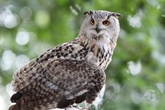 Close up of an Eagle Owl. Staring perched in woodland with blurred background stock photos