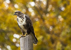 Close-up of Eagle Perching on Outdoors Royalty Free Stock Images