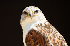 Close up eagle. Close up portrait of a eagle royalty free stock photos