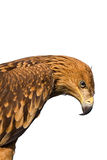 Close up eagle portrait. Isolated on white royalty free stock image