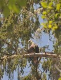 Close up of Eagle resting on a branch in the trees Stock Image